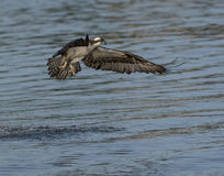 Osprey flying over the top of the water Stock Photo