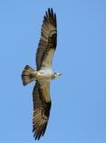 Osprey flying overhead Stock Photo