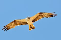 Osprey flying (pandion haliaetus) Royalty Free Stock Photos