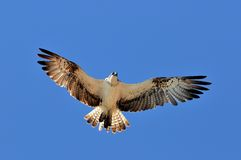 Osprey flying (pandion haliaetus) Stock Images