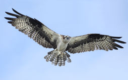 Osprey Flying Right at You as It Brings In Sticks for It's Nest Stock Images