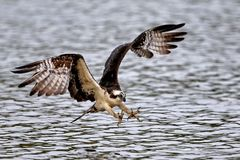 Osprey flying with talons out. On the James River, Va stock image