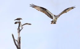 Osprey Flying Toward You While Another Pair Settle on a Dead Tre Royalty Free Stock Photos