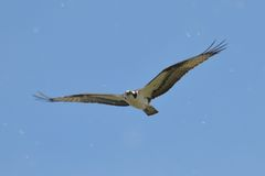 Osprey flying through tree pollen Royalty Free Stock Images
