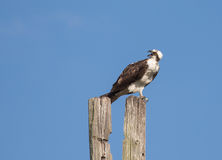 Osprey Giving Warning Royalty Free Stock Images