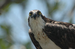 Osprey Glaring Stock Photos