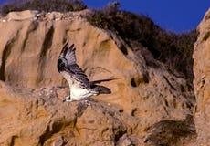 Osprey Royalty Free Stock Photo