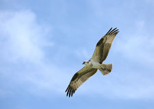 Osprey gliding directly overhead Royalty Free Stock Photos