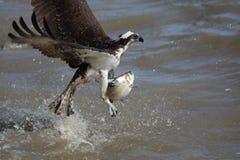 Osprey grabbing fish. Osprey grabbing a fish from the James River in Virginia Royalty Free Stock Image