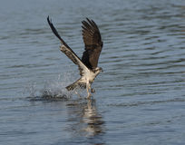 Osprey grabbing a fish out of the water royalty free stock images