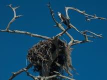 Osprey guarding nest. Osprey guarding its nest along Florida`s Gulf Coast Royalty Free Stock Image