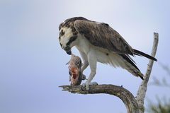 Osprey, haliaetus de pandion Photos libres de droits