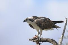 Osprey, haliaetus de pandion Image libre de droits