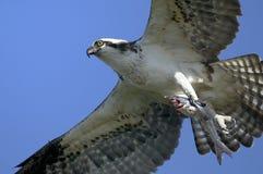 Osprey, haliaetus de pandion Images libres de droits