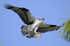 Osprey, haliaetus de pandion Photographie stock libre de droits