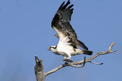 Osprey, haliaetus de pandion Image stock
