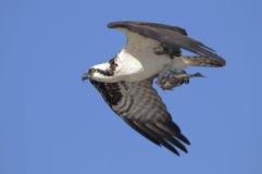 Osprey, haliaetus de pandion Photos libres de droits