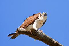 Osprey, haliaetus de Pandion Images stock