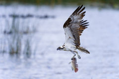 Osprey, haliaetus de pandion Photos stock