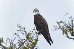 Osprey, haliaetus de pandion Photo libre de droits