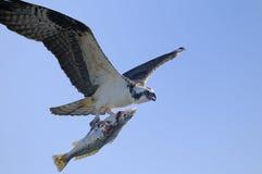 Osprey, haliaetus del pandion Immagini Stock