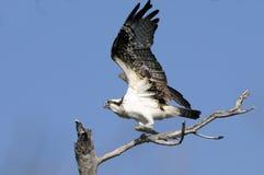 Osprey, haliaetus del pandion Immagine Stock