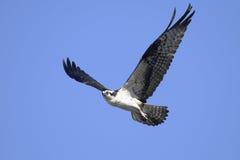 Osprey, haliaetus del pandion Imagen de archivo