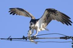 Osprey, haliaetus del pandion Immagine Stock Libera da Diritti