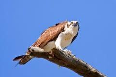 Osprey, haliaetus del Pandion Imagenes de archivo