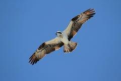 Osprey (haliaetus del pandion) Fotografia Stock Libera da Diritti