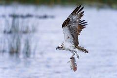 Osprey, haliaetus del pandion Fotografie Stock