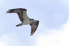 Osprey, haliaetus del pandion Fotografía de archivo