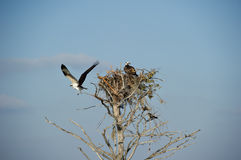 Osprey (haliaetus del Pandion) Imagen de archivo libre de regalías