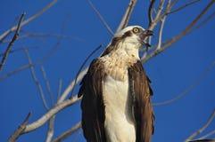 Osprey, haliaetus del Pandion, al ramificación llamar Imagen de archivo libre de regalías