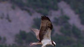 Osprey, haliaetus del pandion, panorámicos y aún mientras que alimenta en la trucha en una rama en el parque nacional del cuarzo  almacen de video