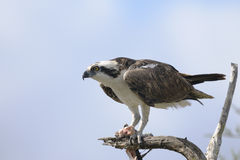 Osprey, haliaetus do pandion Imagem de Stock Royalty Free