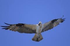 Osprey, haliaetus do pandion Fotografia de Stock