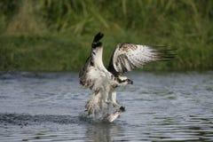 Osprey, haliaetus Pandion Στοκ Φωτογραφίες