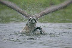 Osprey, haliaetus Pandion Στοκ φωτογραφίες με δικαίωμα ελεύθερης χρήσης