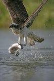 Osprey, haliaetus Pandion Στοκ Εικόνα