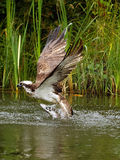Osprey (haliaetus Pandion) Στοκ Φωτογραφία
