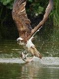Osprey (haliaetus Pandion) Στοκ εικόνα με δικαίωμα ελεύθερης χρήσης