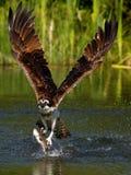 Osprey (haliaetus Pandion) Στοκ εικόνες με δικαίωμα ελεύθερης χρήσης