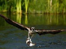 Osprey (haliaetus Pandion) Στοκ φωτογραφία με δικαίωμα ελεύθερης χρήσης