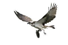 Osprey, haliaetus Pandion Στοκ εικόνες με δικαίωμα ελεύθερης χρήσης