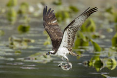 Osprey has fish in claws. An osprey just caught a fish in Fernan Lake in North Idaho Stock Image