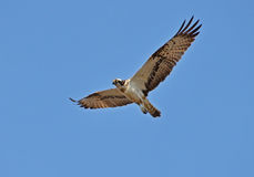 Osprey hawk. Flying in the sky Stock Photos