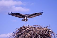 Osprey Hawk. This is a shot of a osprey hawk coming home from a fishing trip Royalty Free Stock Photography
