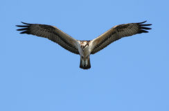 Osprey Hawk Fishing Royalty Free Stock Image