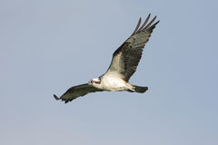 Osprey Hawk In Flight Stock Photo